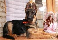 продается щенок Немецкой Овчарки с большой перспективой для спорта.